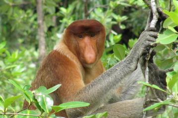 Small bm 081113 proboscis monkey 1 online 800x600