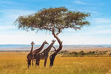 Small gettyimages giraffen akazie 921714004 pierivb 2019 05 16 online 800x600