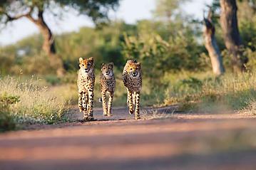Small gettyimages s dafrika kr ger nationalpark geparden 923556220 stefonlinton 2019 online 800x600