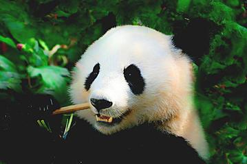 Small gettyimages china chengdu panda 1030012818 denisapro 2019 02 26 export 600 800
