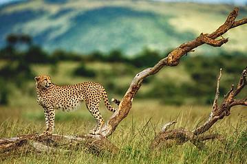 Small gettyimages masai mara geparden 857307914 2019 07 16 export 600 800