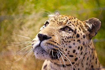 Small bm 130218 keanu leopard naankuse hi 18022013 003 1 export 600 800