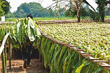 Small 20140221 gettyimages fuellerbild tabakplantage kuba vinalestal 486392945 isuaneye export 600 800