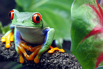 Small adobestock red eyed tree frog 34031098 macropixel export 600 800