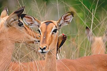 Small gettyimages impala kr ger nationalpark 140468445 ecopic 2019 05 16 export 600 800
